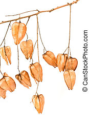 Golden Rain tree seed pods (koelreuteria paniculata) on...
