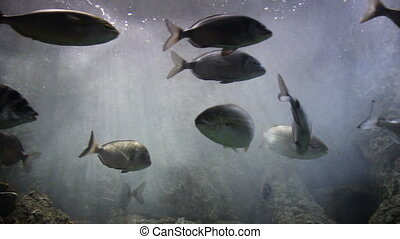 Shoal of Sarpa salpa, swimming in aquarium Genoa Italy
