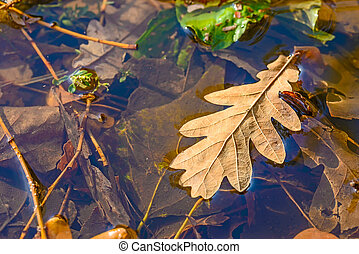 Oak Leaves in a Puddle - Dry oak tree leaves in a puddle...