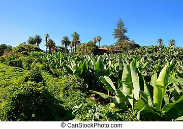 Banana plantation - Wide angle shot of the banana...