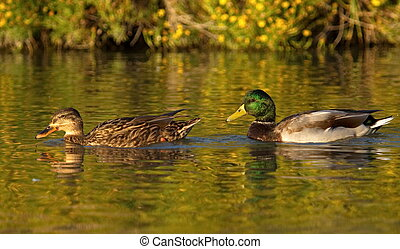 Mallard or wild duck couple, anas platyrhynchos, floating on...