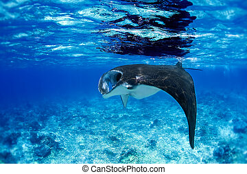 Manta Ray - Manta ray filter feeding in the blue Komodo...