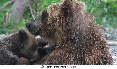 Cubs drink milk bears.  - Cubs drink bears milk. Summer.