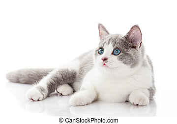 British shorthair cat on a white background british cat...
