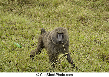 baboon in the african bush
