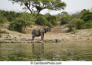 Elephant in the african savannah