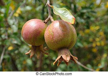 Pomegranates on a branch