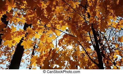 beautiful autumn yellow leaves - slider dolly shot