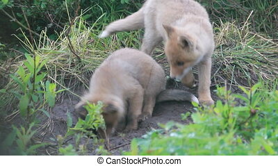 Red fox cubs cuddling Summer