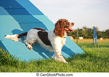 a cute liver and white working type english springer spaniel...