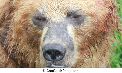 Brown Bear, close up Summer.