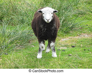 a lakeland sheep standing in a field