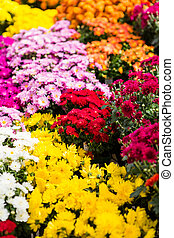 Mums - Flowering mums in alrge quantaties in the garden