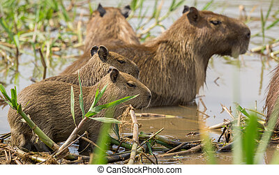 Baby Capybara in Brazilian Pantanal (Side view)....