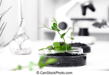 Genetically modified plant tested in petri dish Ecology...