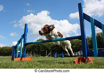 a working type english springer spaniel pet gundog jumping...