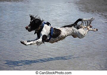 working type engish springer spaniel pet gundog jumping on a...