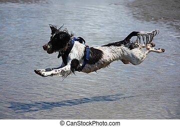 working type engish springer spaniel pet gundog jumping on a...