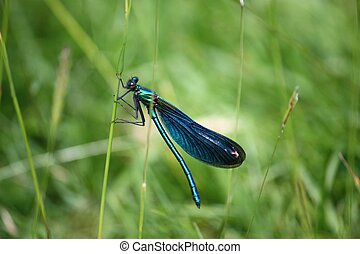 beautiful petrol blue green dragonfly on a blade of grass