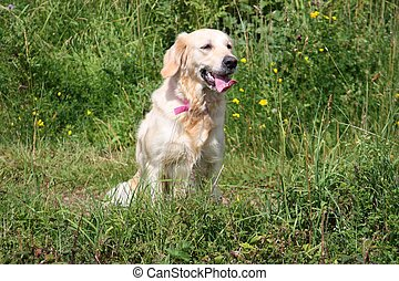 a beautiful golden retriever pet gundog