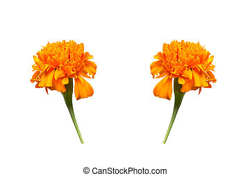 Marigold flower isolated