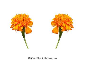 Nagietek, kwiat, odizolowany