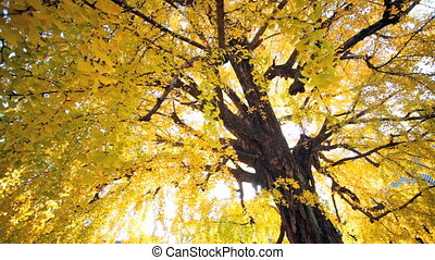 ginkgo at fall season for adv or others purpose use