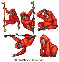 Orangutan - illustration of many orangutans hanging on a...