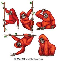 Orangutan - illustration of many orangutans hanging on a...