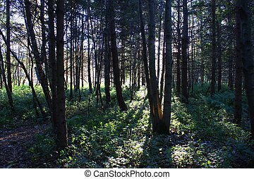 Shafts of sunlight shining through trees in a forest