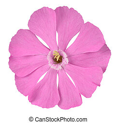 rosa, Campion, Wildflower, aislado, blanco