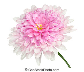 Pink Dahlia Flower large center Isolated on white