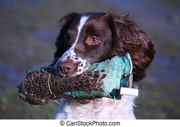 working type english springer spaniel carrying a pheasant
