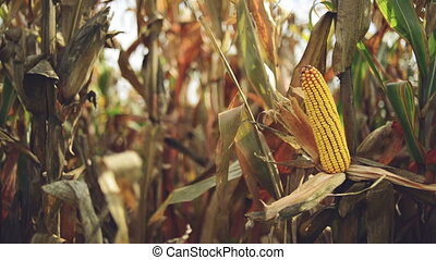 Ripe maize corn on the cob - Ripe maize on the cob in...