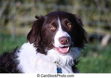 Handsome springer collie cross pet dog