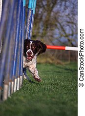 Working type english springer spaniel pet gundog agility...