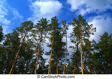 Pinewood - Sunny pine forest