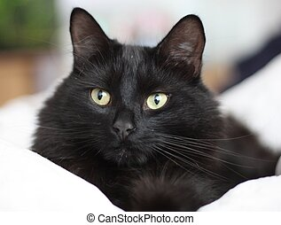 a handsome long haired black pussy cat