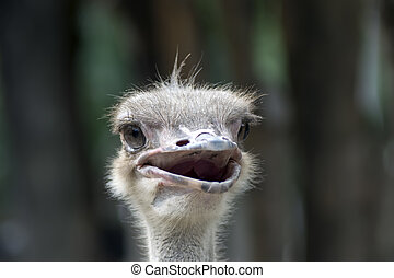 Common Ostrich Head on Tree Background. - Struthio Camelus...