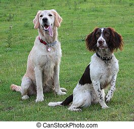 springer spaniel and golden retreiver pet gundogs friends...