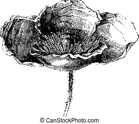 Somnifere poppy (flower) or Opium poppy, vintage engraving....