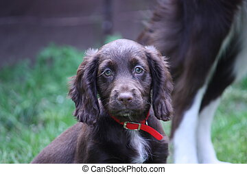 A very cute liver working cocker spaniel pet gundog