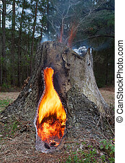Burning stump - Pine tree stump that has a fire going in its...