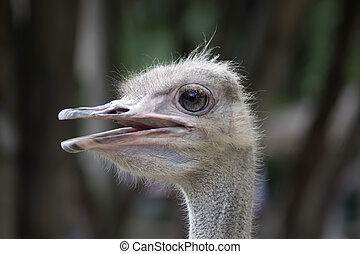 Common Ostrich Female Head Struthio Camelus is either one or...
