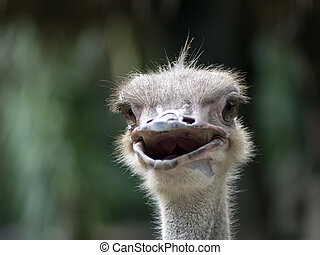 Common Ostrich Foreface Struthio Camelus is either one or...