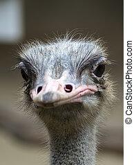 Common Ostrich View Struthio Camelus is either one or two...