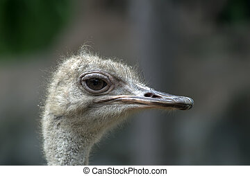 Ostrich Head Struthio Camelus is either one or two species...