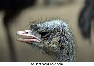 Listening. - Listening Common Ostrich. Struthio Camelus is...