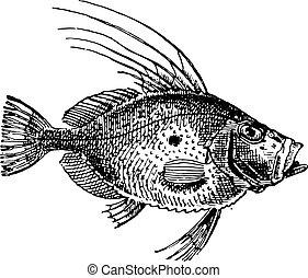 santo, Pietro, Fish, o, zeus, faber, vendemmia, incisione