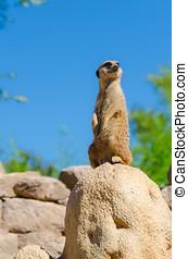 regarder, dehors,  Meerkat,  Zoo